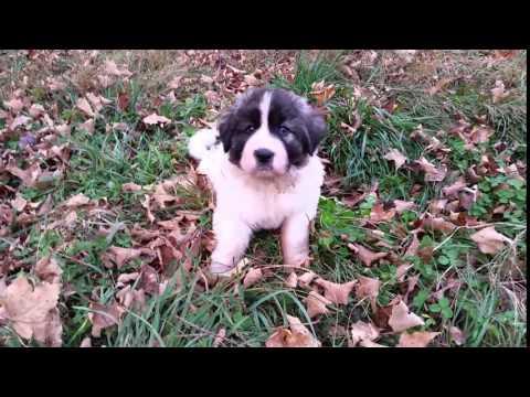 Pyrenean Mastiff puppy Chance