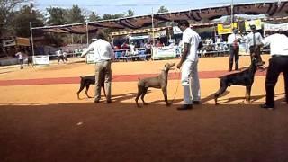 Mysore Kennel Club Dog Show  India Dobermann