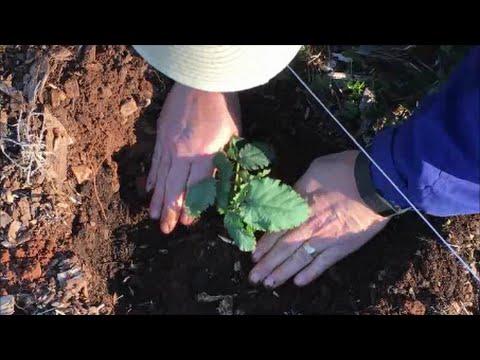 Growing Blackberries Part Planting