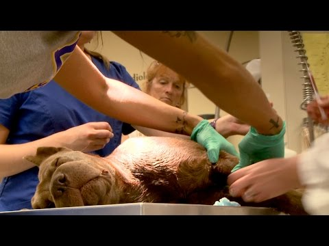 One Sweet Dog with a Gunshot Wound Raced to the Vet