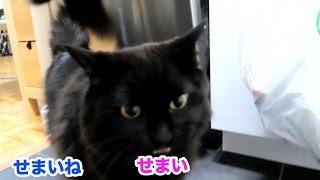 狭いアパートを「せまい」というねこ、しおちゃん Theo repeats what Shinkoro says thumbnail