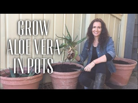 How to Grow Aloe Vera in pots
