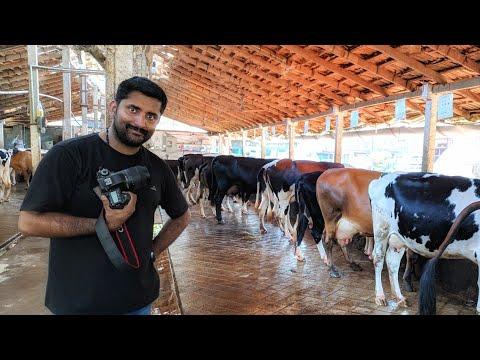 പശു വളർത്തൽ [ECO OWN MEDIA] Dairy farm in kerala