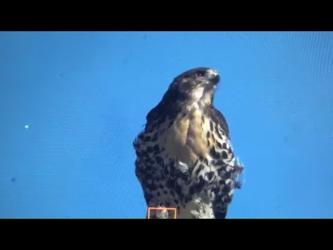 Live - with the most amazing Hawk-Eagle  nest fights ever seen