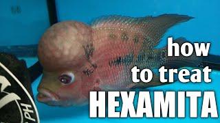 hexamita paraziták