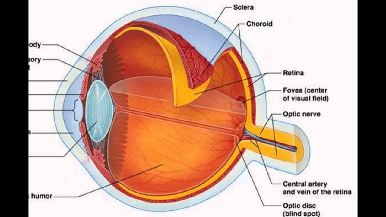 The Human Eye Diagram Block And Schematic Diagrams