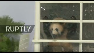 LIVE  Berlin's new panda couple lands at the capital's airport