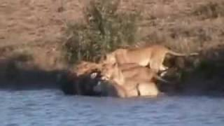 the most wild wild animals attack video ever seen