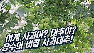 세상에 사과 크기만한 대추가 있다?! 맛도 두배로 좋고…