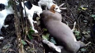 caceria de venados con perros 2014