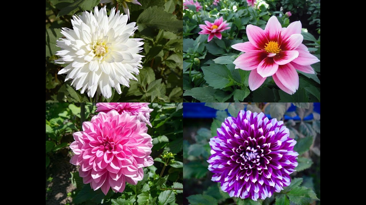 Amazing and most beautiful dahlia flowers mexico national flower amazing and most beautiful dahlia flowers mexico national flower izmirmasajfo Gallery
