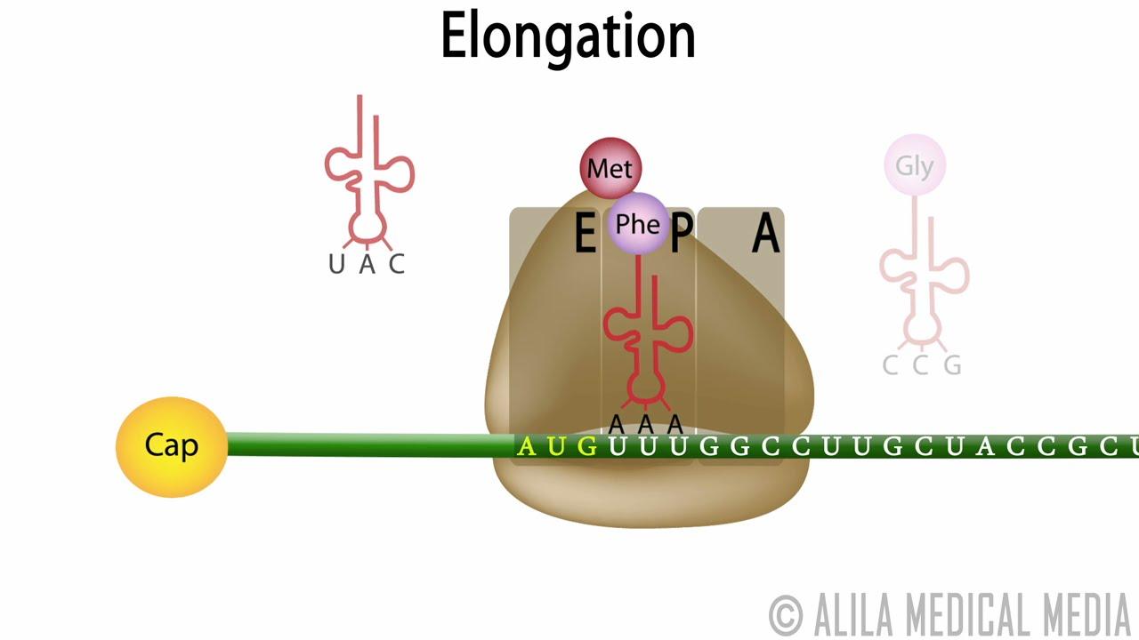 dna translation diagram ribosome [ 1280 x 720 Pixel ]