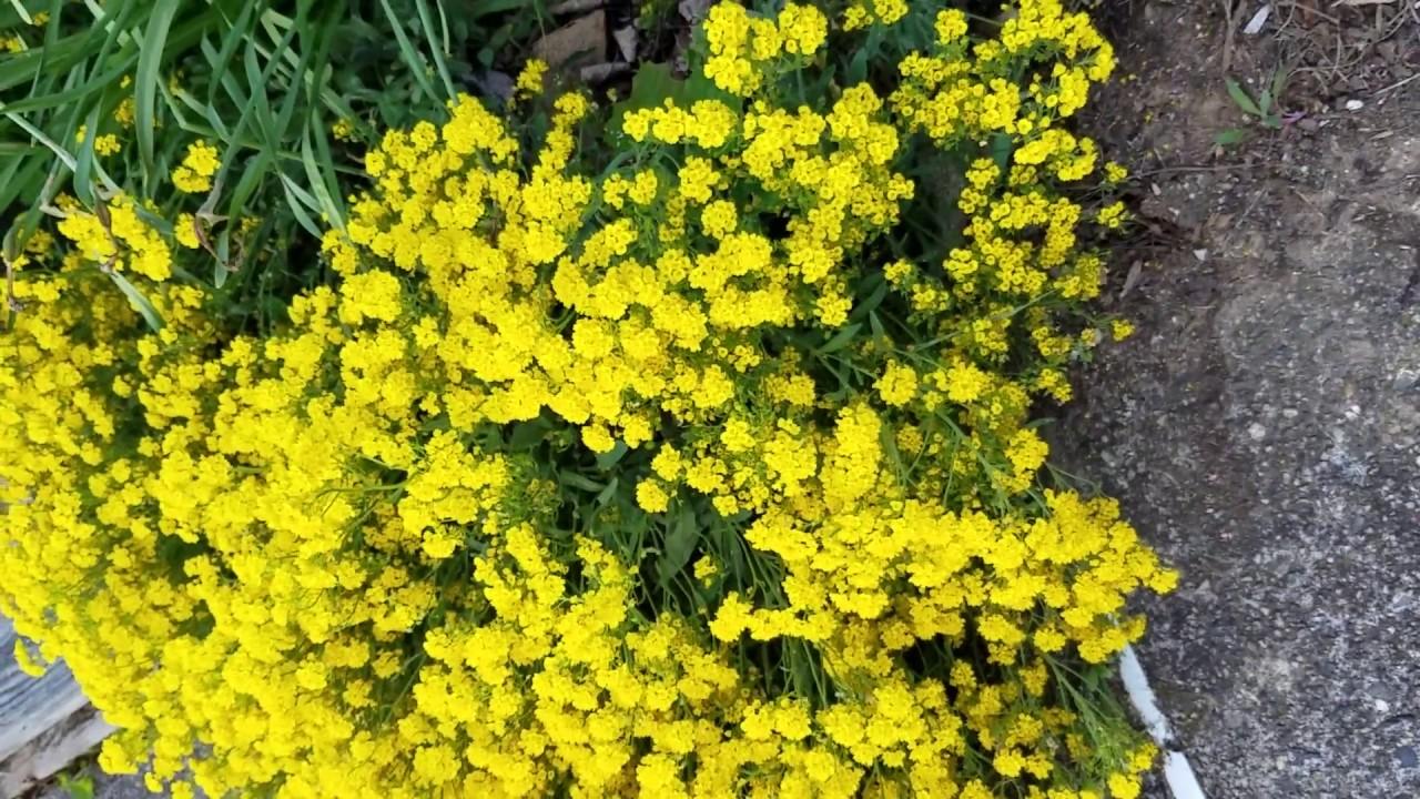 Yellow Perennial Flower Basket Of Gold Alyssum Youtube