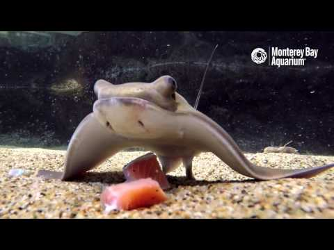 Feeding Time For The Baby Bat Rays!