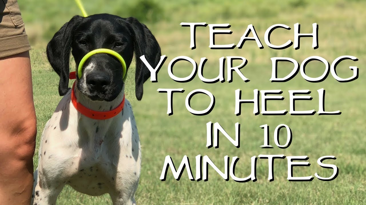 Teach Your Dog To Heel In Less Than 10