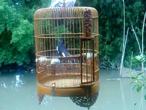 Chòe Than múa hót 01. Diệp Đại Thành http://chimcanh.svcvietnam.vn/forum/