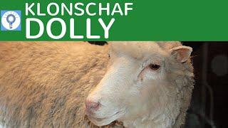 Vorgang des Klonens - Am Beispiel des Klonschafs Dolly einfach erklärt