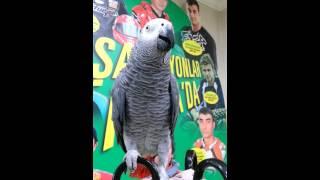 Geveze papağan şüko