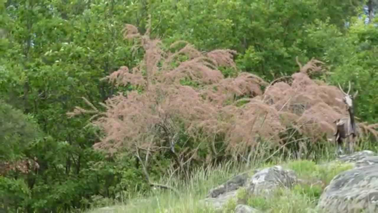 le tamaris un arbuste m diterran en youtube