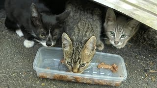 kittens eating food and cats so hungry