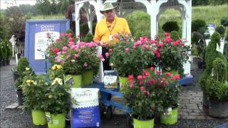 How to Care for Knock Out Roses with Stauffers Garden Center
