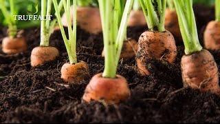 Comment semer des carottes ? - Truffaut