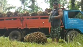 buah sawit super banteng gede brooo susah payah mau angkat by cepi saputra