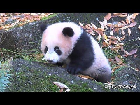 屋外運動場で遊ぶパンダのシャンシャンは「美人さん」、生後半年に 上野動物園