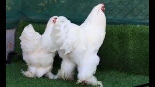 -شاهد دجاج البراهما العملاق-أنواع دجاج الزينة/Brahma chicken.