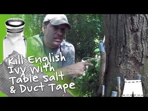 How To Kill English Ivy Vines With Salt Duct Tape Diy