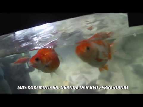 Ikan Cupang dan Ikan Mas koki
