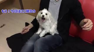 ふわふわマルチーズ犬パールくん#5 ねこ共演者 ねこ動画提供者募集中...