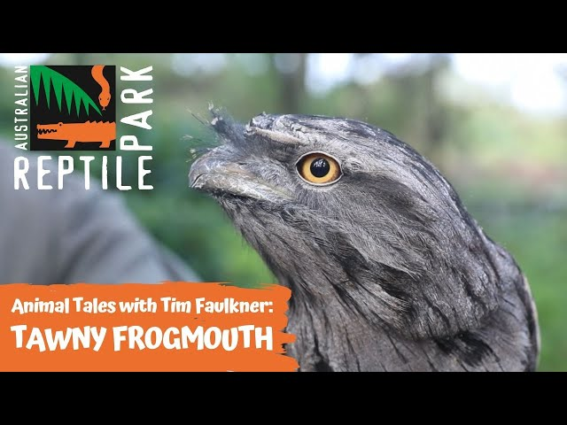 ANIMAL TALES WITH TIM FAULKNER | EPISODE ONE | TAWNY FROGMOUTH