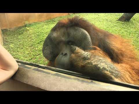 Sansão, o orangotango do Zoo de São Paulo