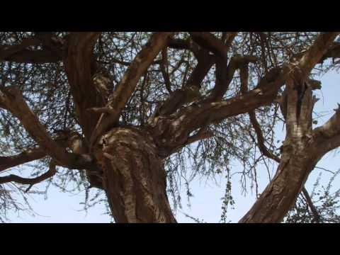 Savannah monitor (Varanus exanthematicus), Mauritania