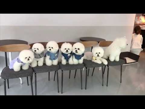 Bichon Frise   Funny and Cute Moments