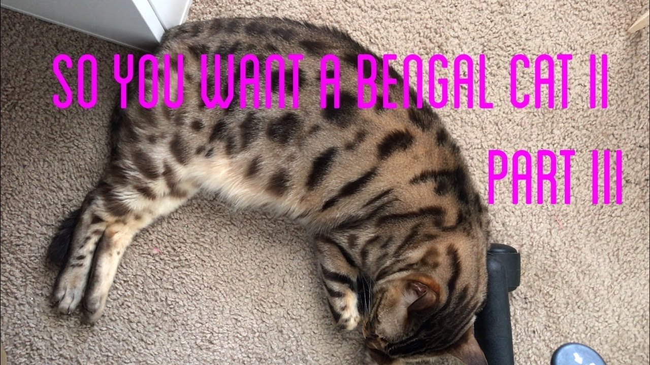 SO YOU WANT A BENGAL CAT II 'the bad' part III YouTube