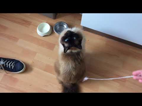 Teddy the Ragdoll cat vs Mowgli the Maine Coon cat
