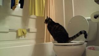 Teach a Cat To Pee In The Toilet