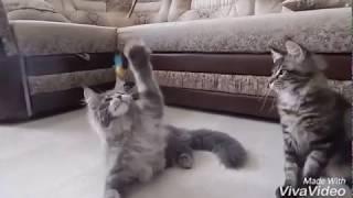 ПРОДАЖА котят Мейн Кун! Питомник Кун-ВиЛе-Кун г. Кемерово. Сайт: http://kunvilekun.ru/