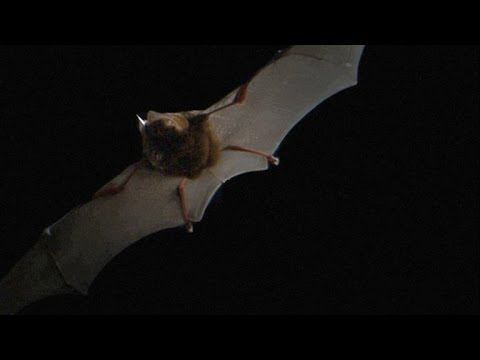 Here's What Bat Echolocation Sounds Like, Slowed Down