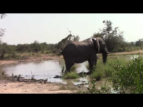 Elephant Bull (Male) at waterhole, Kruger National Park