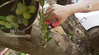 Xylella fastidiosa : les pépiniéristes et paysagistes doivent s'adapter