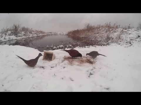 фазан # прикармливаем