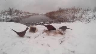 фазан # прикармливаем дикую птицу
