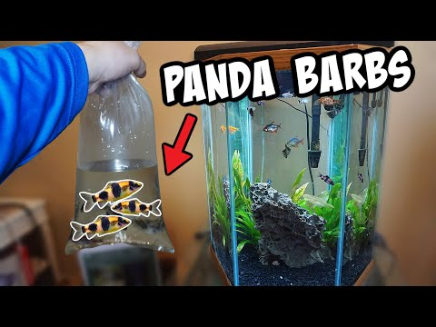 NEW *PANDA* BARBS For Community Tank