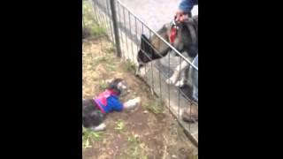 Valiente Schnauzer Ataca A  Husky Siberiano!