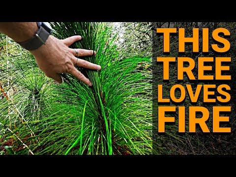 this-tree-loves-fire-(longleaf-pine)---#teamtrees-behind-the-scenes