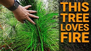 This Tree LOVES FIRE (Longleaf Pine) - #TeamTrees Behind the Scenes