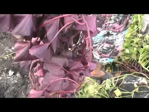 Нежный вьюнок - ипомея. Фото ипомеи